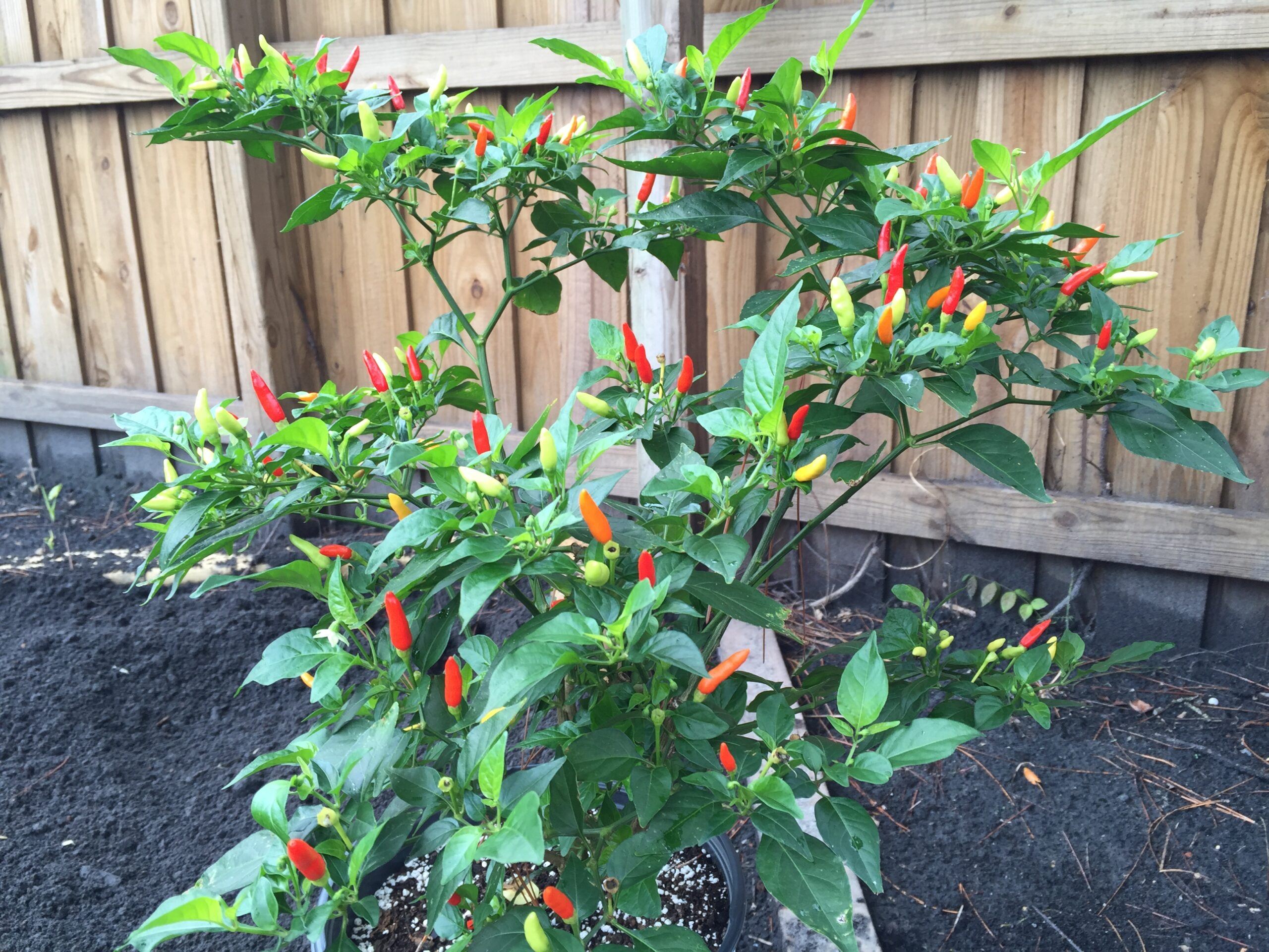 PEQUIN 20 SEEDS HOT CHILLI PEPPER