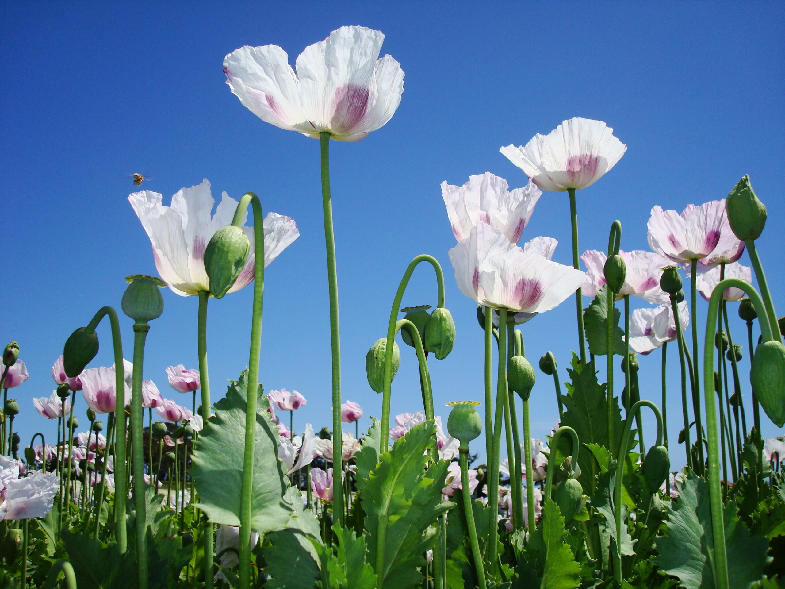 Tazmanian Poppy Plants With A Purpose