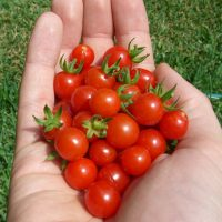 matts wild cherry tomato