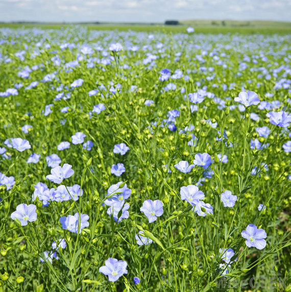 flax seed plants with a purpose