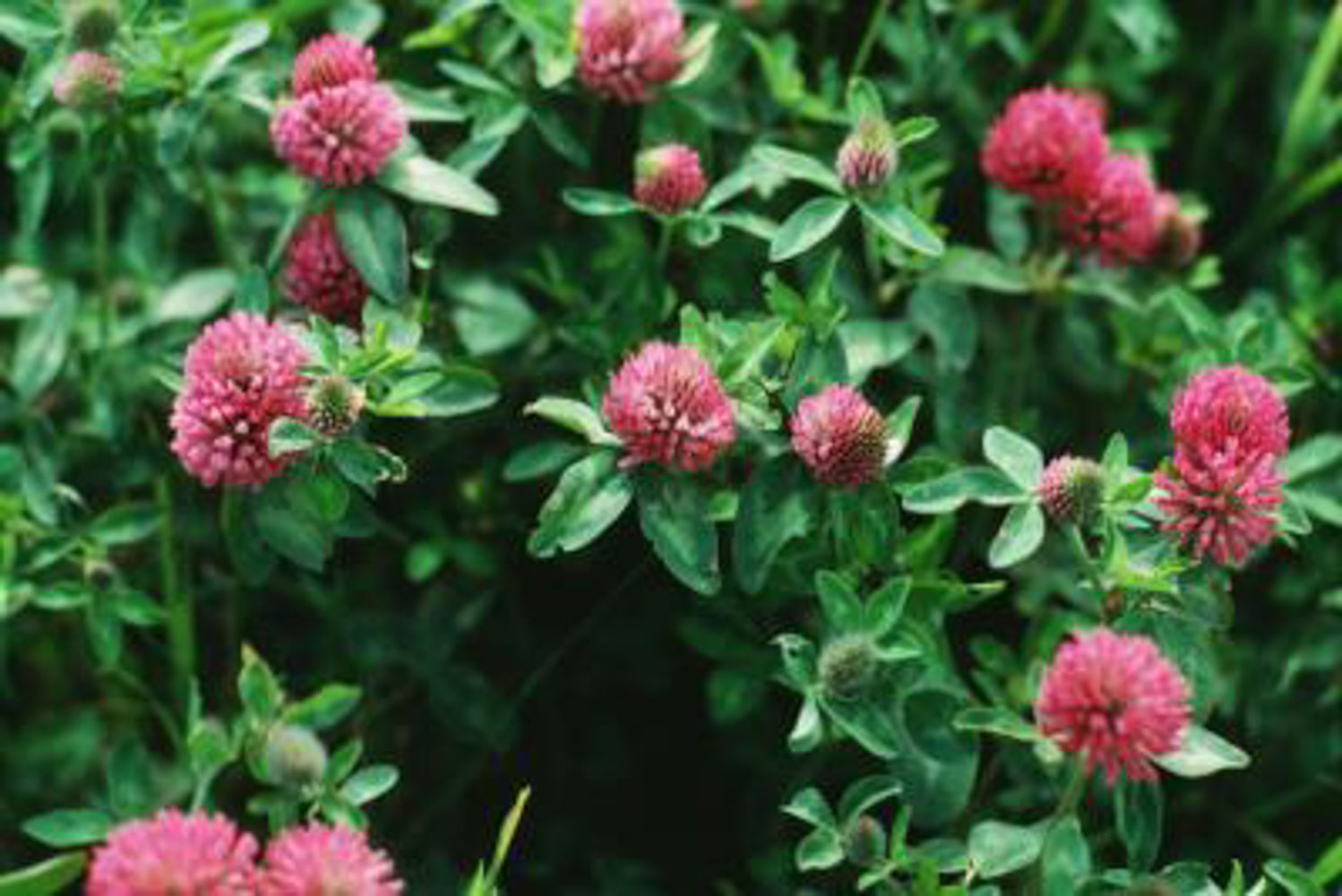 Red Clover Field Oregon 1024x1024 Redclover 20180929 181704 Film1 Add To Wishlist Loading