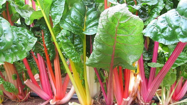 Rainbow Swiss Chard Plants With A Purpose