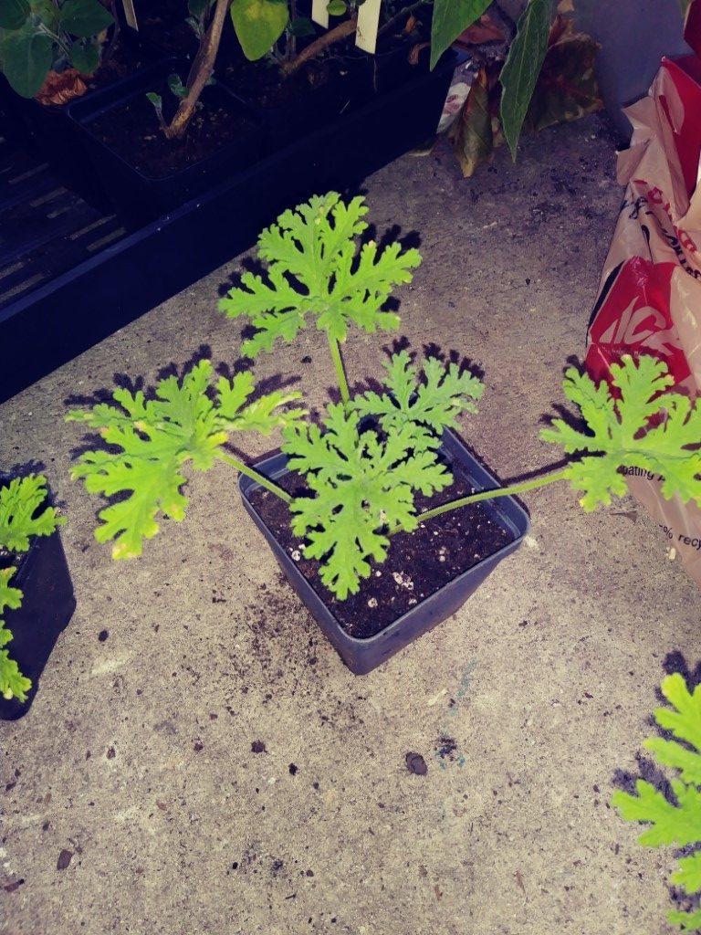 Citronella Citronella Geranium Plants With A Purpose